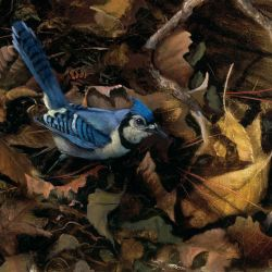 Blue Jay in Fall Leaves
