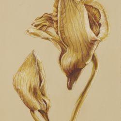 Phaleonopsis Posterior View